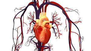 chf heart and blood vessel
